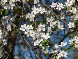 view of the sky through the flowering wild plum