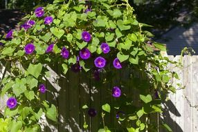 morning glory plant with purple flowers