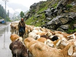 walking pasture of sheeps on a road