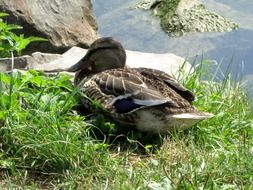 female mallard duck at water