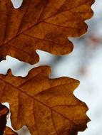 autumn oak leaves close up