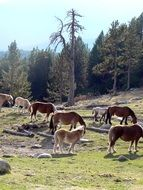 horses pasturing in pyrenees, spain, Catalonia