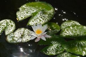 White water lily on green leaves
