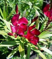 Oleander is a flowering shrub