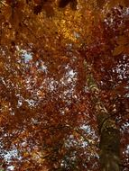 bottom view of the European beech in fall foliage