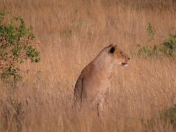 Picture of wild lioness in Kenya