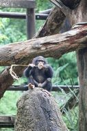 cute chimpanzee in a zoo