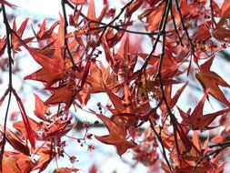 Red maple is a decorative plant