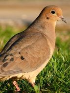 extraordinary beauty mourning dove