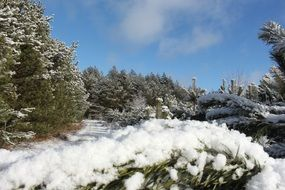 coniferous forest in snow