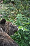 brown bear as a predator in the forest
