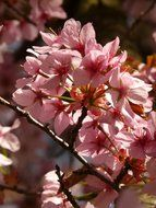 ornamental flowering cherry
