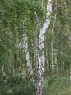 growing birch trees in the forest