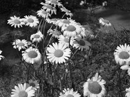 black and white photo of a field of daisies