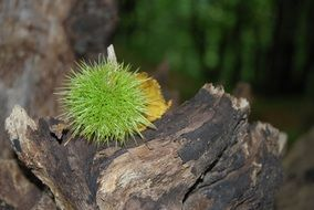 prickly chestnut fruit
