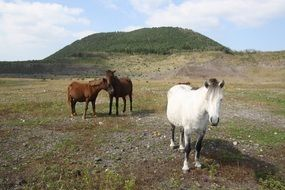 brown and white horses on a hill at Jeju island