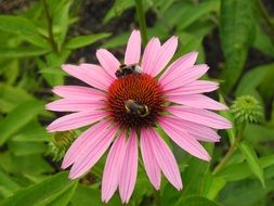 bumblebees and bees on pink echinacea