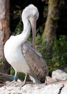 white pelican with a long beak in the wild