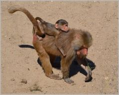 baboons playing in the zoo