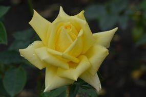 yellow rose with sharp petals