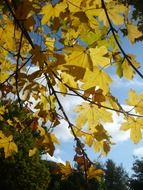 yellow maple leaves against the autumn sky