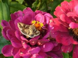 hummingbird hawk-moth on zinnia flower
