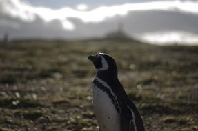 penguin in wild, chile, patagonia