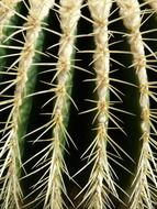 spurs on Echinocactus