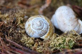 shell empty snail on dry moss