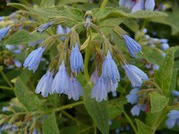 bloom comfrey