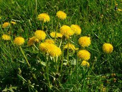 yellow dandelions on a green meadow