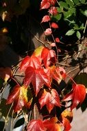 climbing plants with red leaves