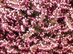 a top view on pink heather
