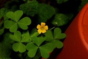 yellow small flower of green clover