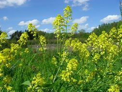 rapeseed spring summer nature