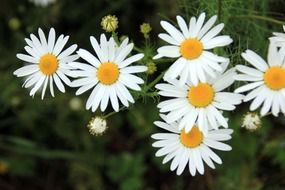 bush blooming bright white daisies
