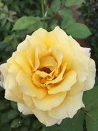 rose yellow flower white blossom