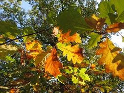 yellow autumn oak leaves on a tree