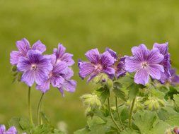 purple geranium flowers in nature