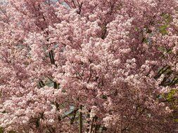 flowering of the Japanese cherry