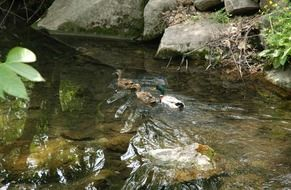 ducks swim in the wild pond