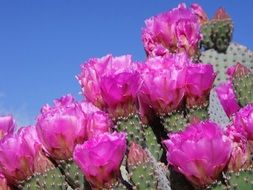 pink flowers on prickly pear against the blue sky