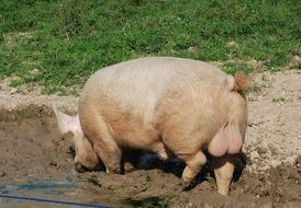 pigs mammal sow