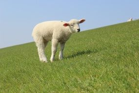 white lamb on a green meadow