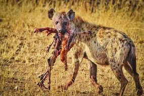 hyena with prey in nature in tanzania