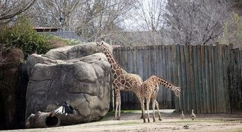 giraffes standing in the zoo