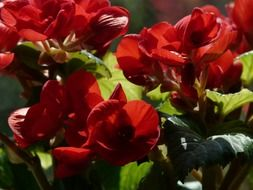 flowering begonias of the red flowers