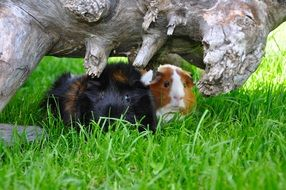 guinea pigs on green grass