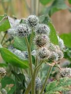 burdock bloom