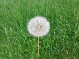 dandelion on green field close up